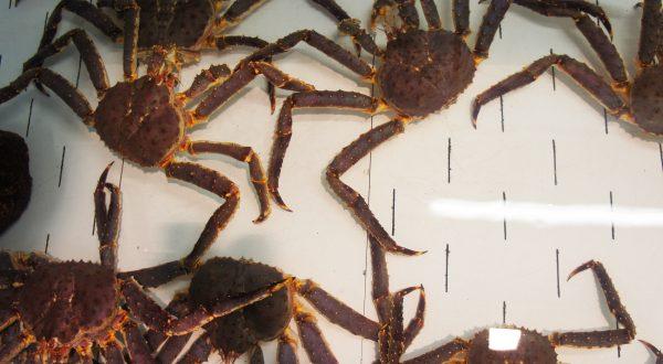 Murtaröl crabs
