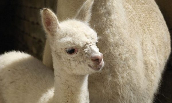 3BFFE97300000578-4102914-Natural_causes_Lacorine_sources_its_ethical_fur_from_baby_alpaca-a-11_1483986941500